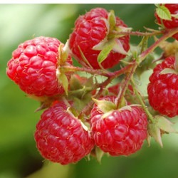 Red Raspberry with Stem and Leaf