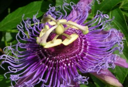 Passion Flower - Breast Enhancement Herb